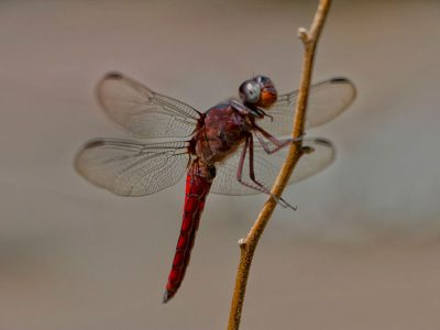 fausto-fernandez-photo-Dragon-Fly-libelula-vermelha